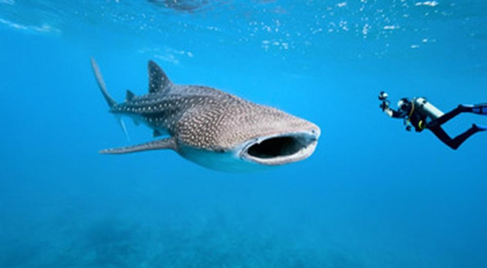 voyager au mexique en famille et vivre une expérience fabuleuse en allant nager avec les requins baleines