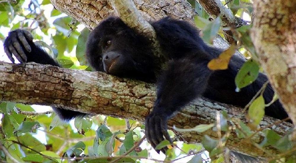 voir des singes pendant son voyage au Yucatan