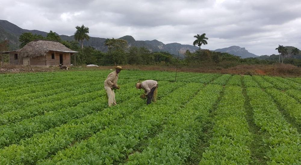 champs de tabac a cuba