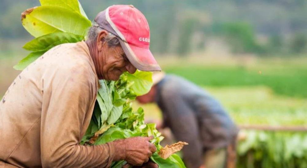 paysans dans un champs de tabac a cuba