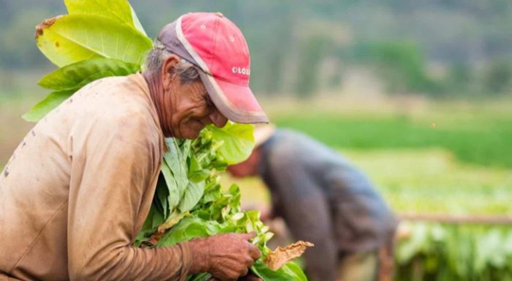 cultivateur de tabac a vinales