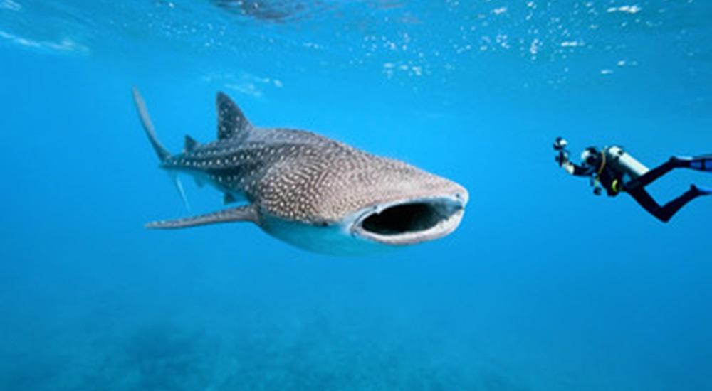 nager avec les requins baleines a Holbox